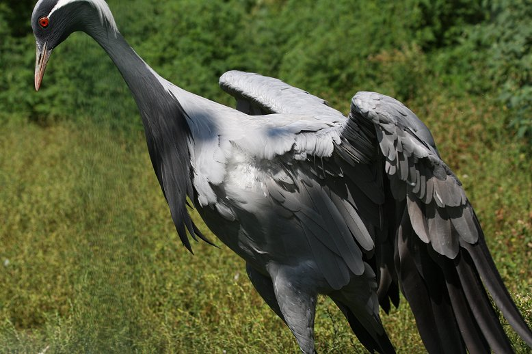 Demoiselle crane display