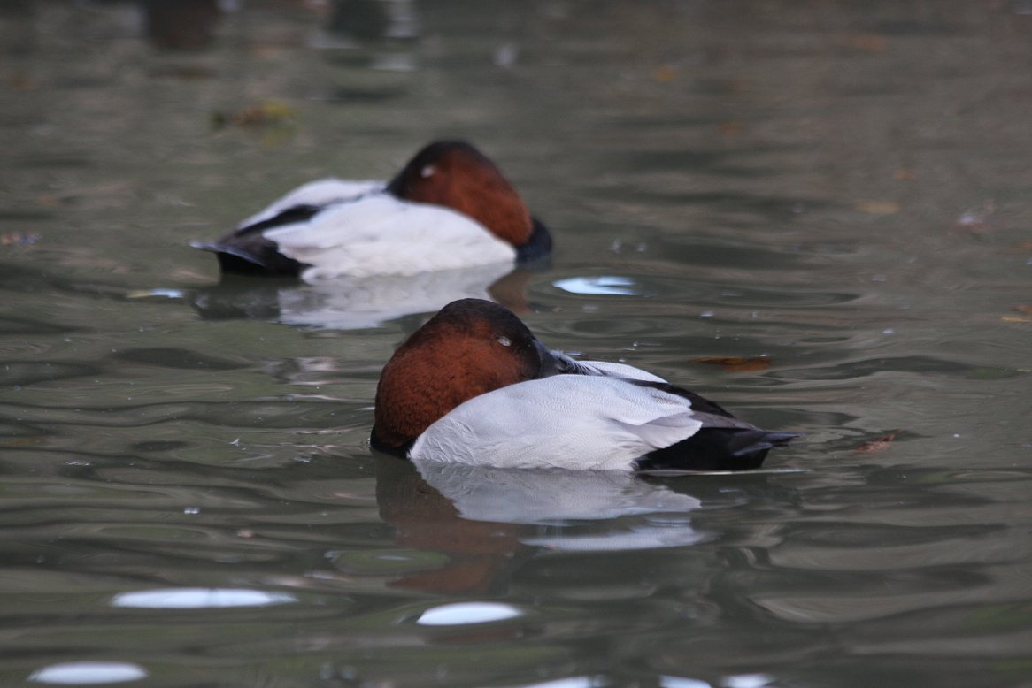 canvasback_(12).JPG