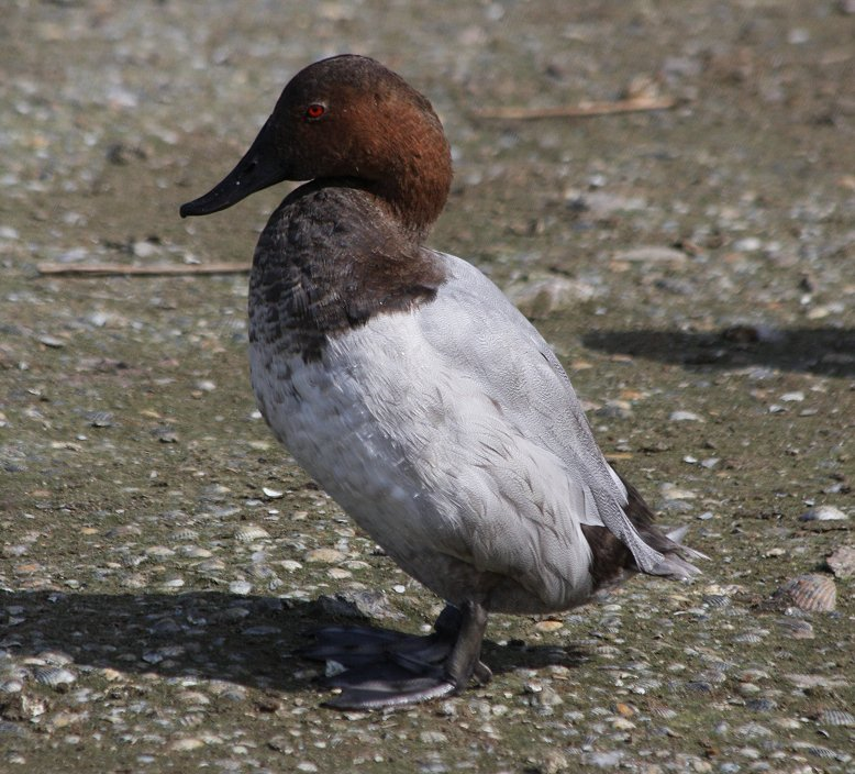 canvasback_(2).JPG